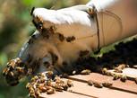 Abeja_en_mano_(La_tienda_del_apicultor).
