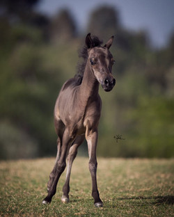 Gold Visions Sinfully Bay Filly