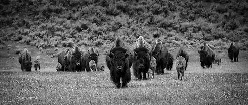bison-1581895_edited.jpg