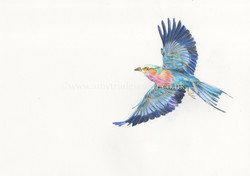 Purple breasted roller