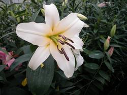 White Oriental x Indian Summer