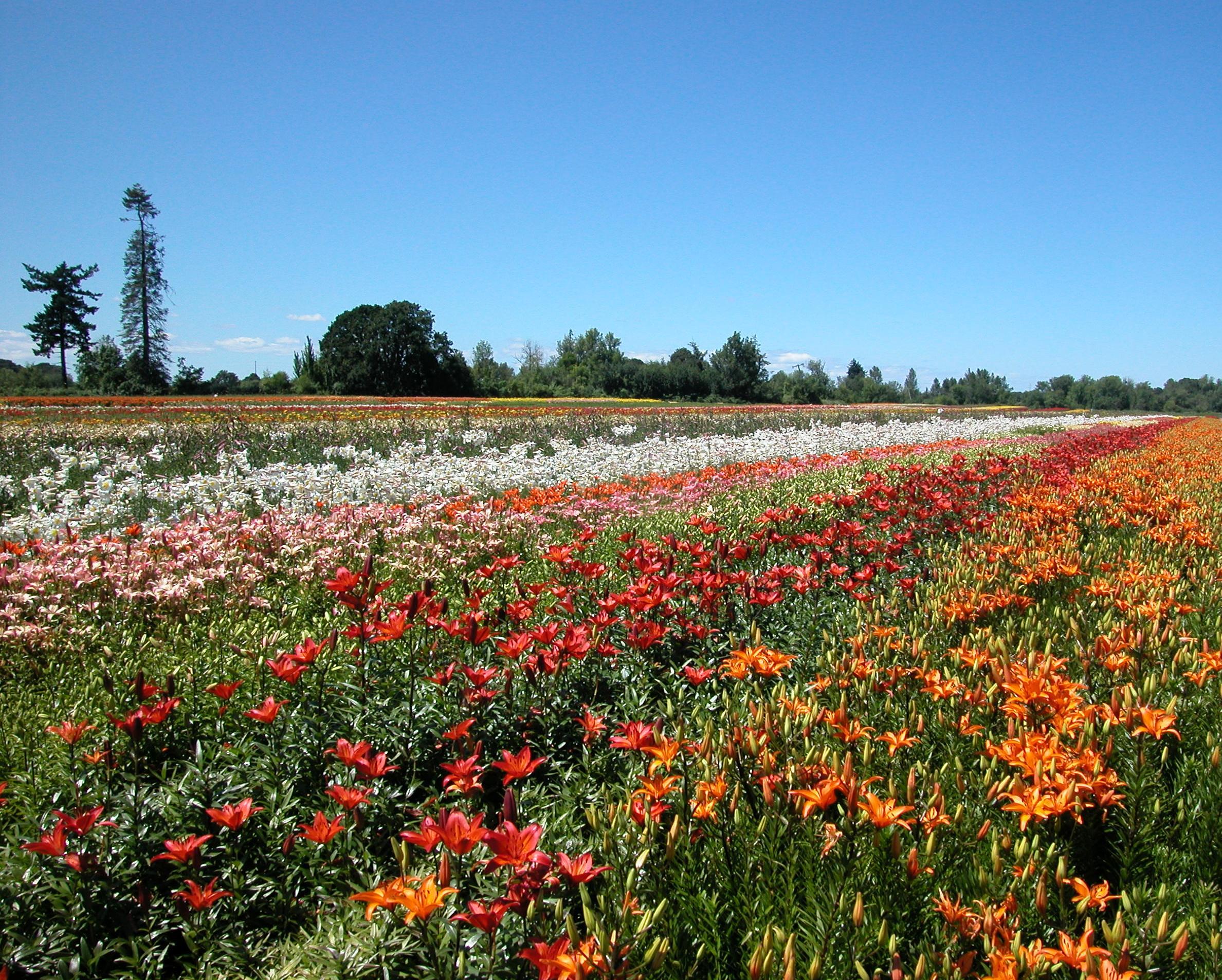 Field with Asiaticvarieties 2002