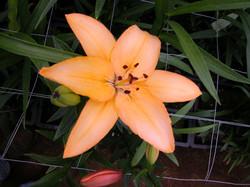 T.T. Orange As. x White Oriental
