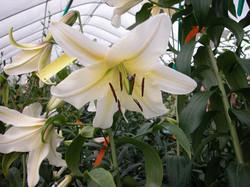 White Or. x Henryi hybride