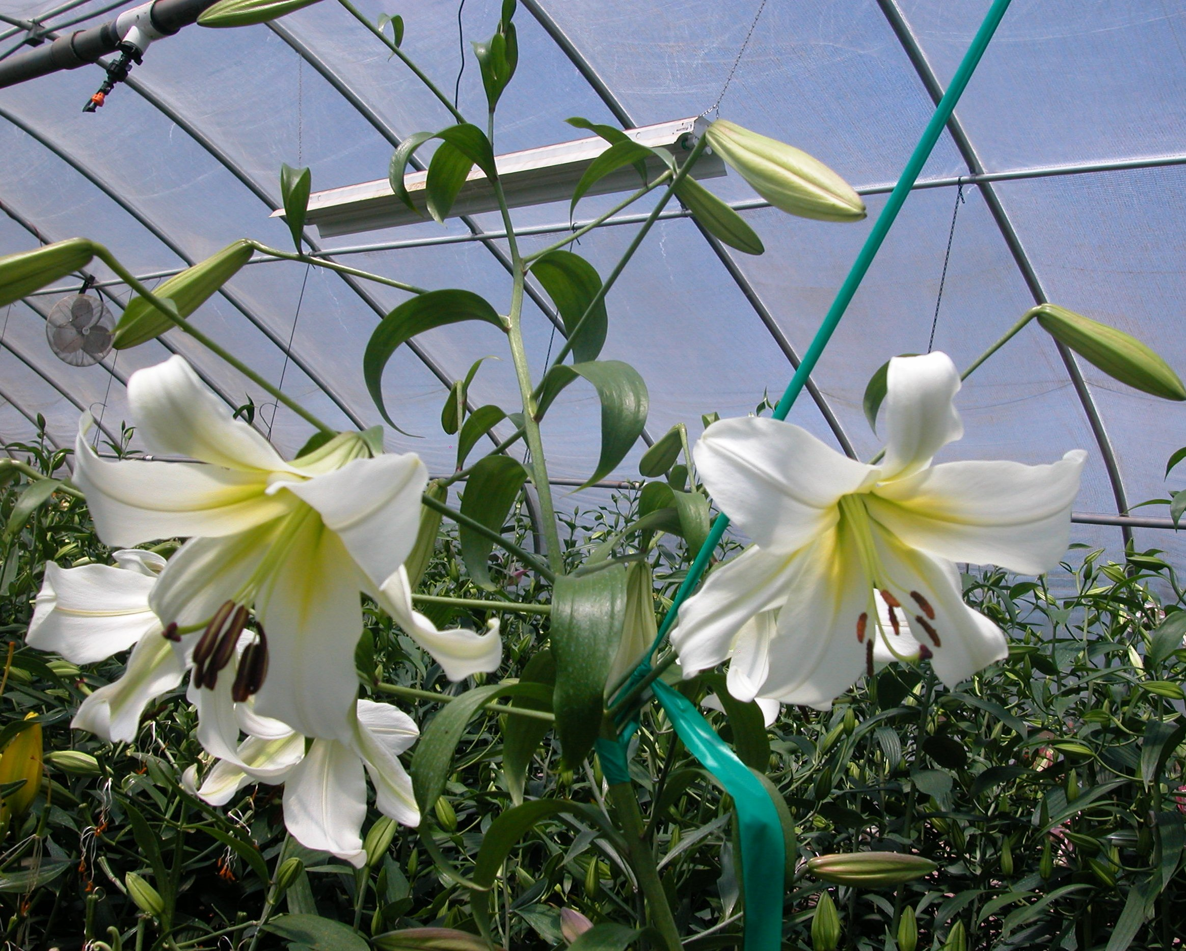 Henryi hybrid x white upright Oriental