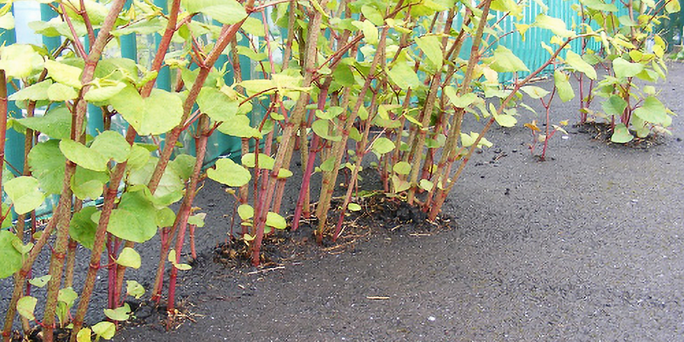 Japanese Knotweed on Denman Island with André Menting