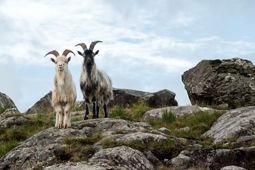 Southern-Peninsula_Goats-Beara-Peninsula