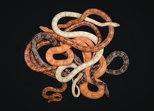 Morphs_Corn_Snakes.jpg