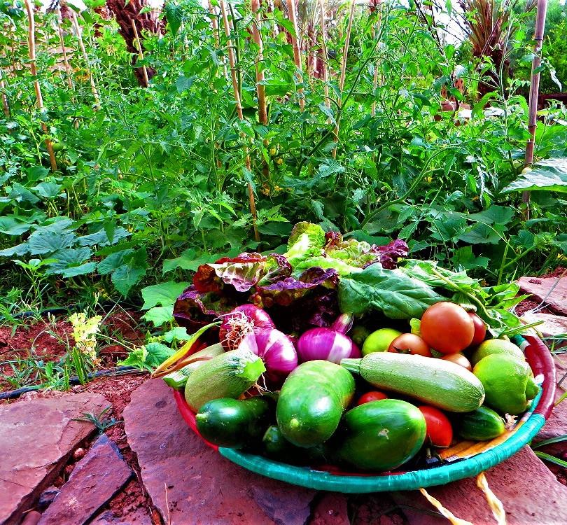 Récolte du potager biologique de la Kasbah Azul