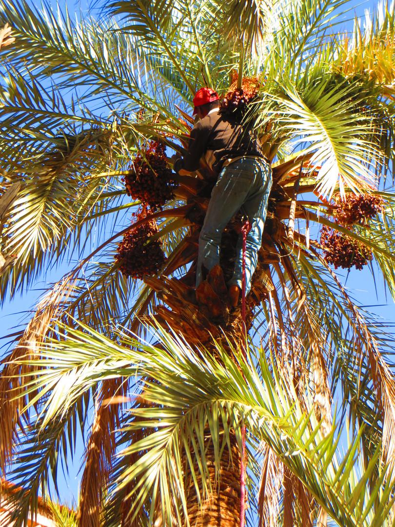 Récolte des dattes à la Kasbah Azul
