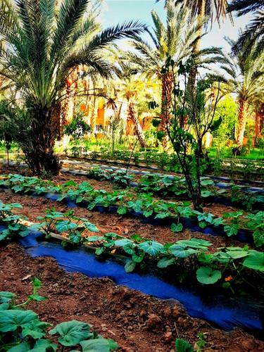 Organic vegetable garden of Ecolodge Kasbah Azul Agdz