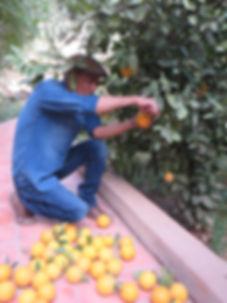 ramassage_des_oranges_à_la_kasbah_azul_A
