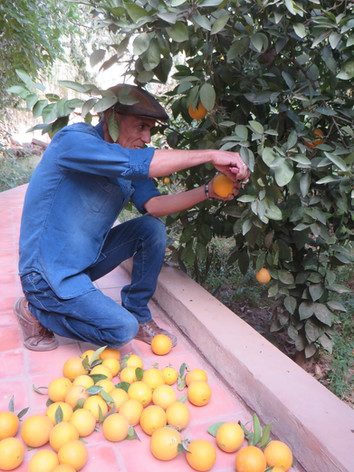 récolte des_oranges_à_la_kasbah_azul_A