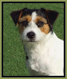 Jack Russell Terrier bitch reproductrice