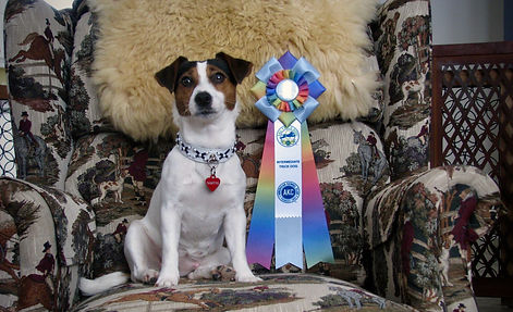 jack russell trick dog, trucs jack russell terrier, AKC, trucs chiens, dog trick