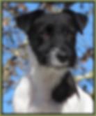 Jack Russell Terrier stud reproducteur