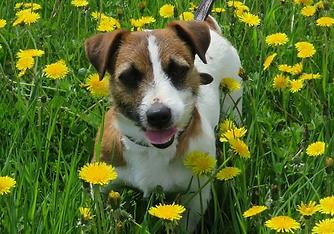 Valentina Jack Russell Terrier breeder éleveur