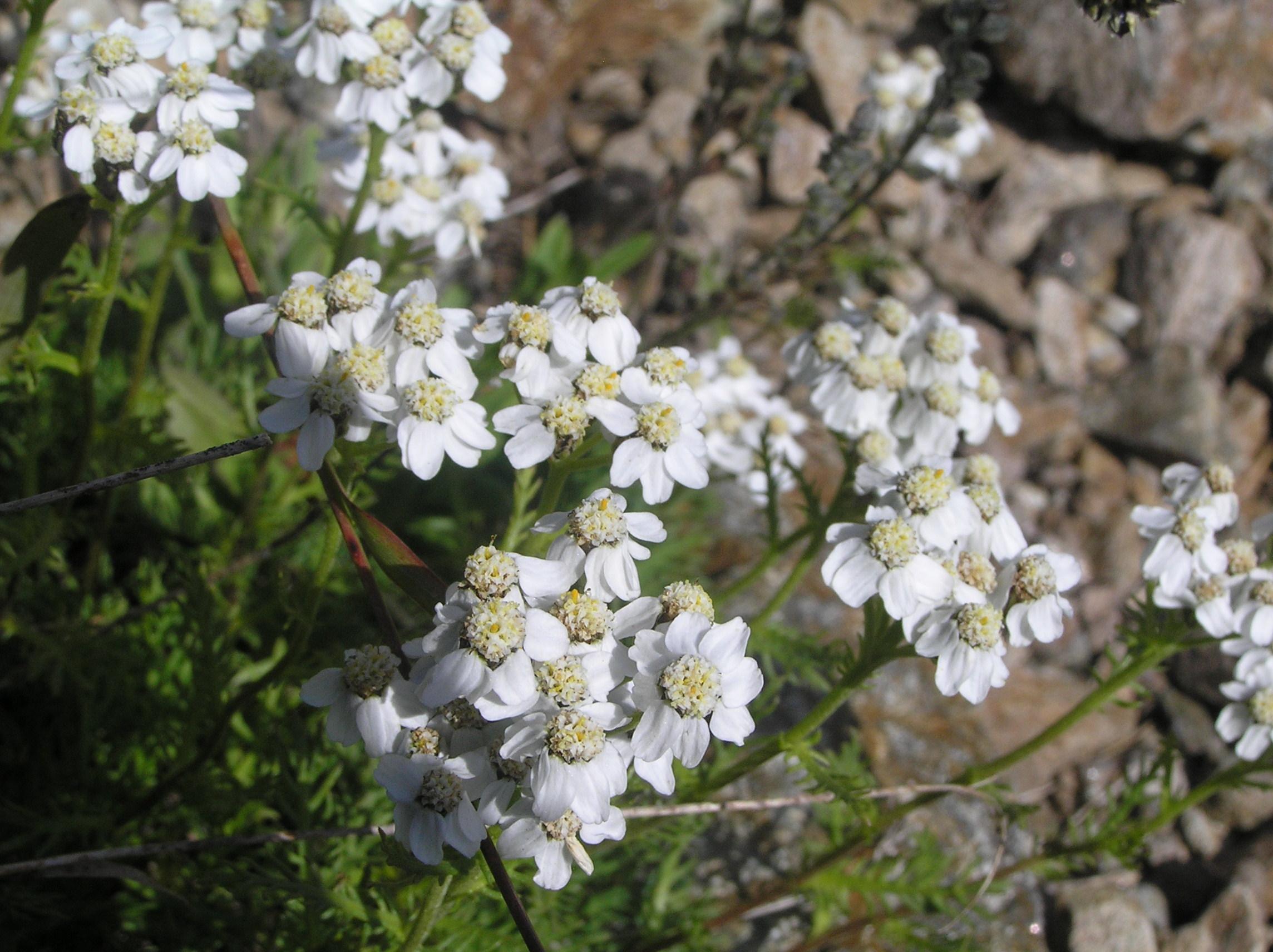 erbaLivia(achilleaMoscata)