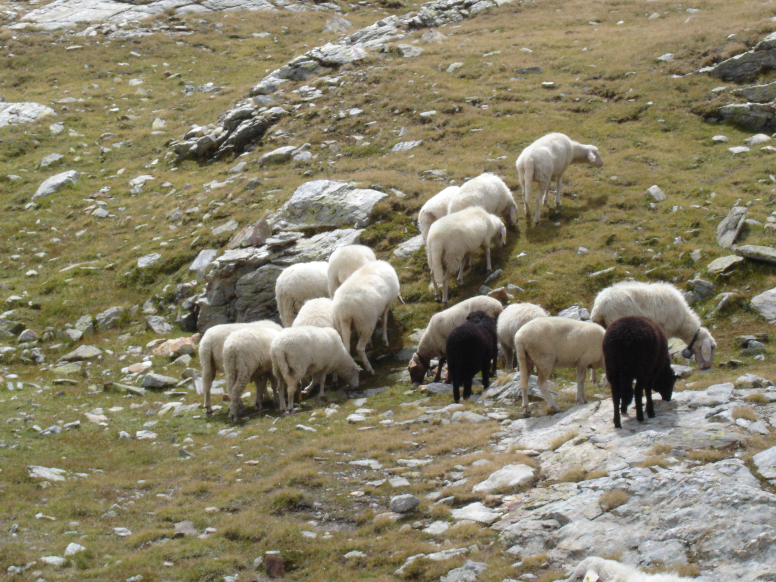 pecore_lag_matt