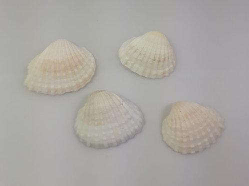 Concha do Mar com 6 unidades