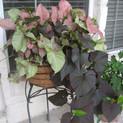 Pink Nephthytis and Purple sweet potato vine combo