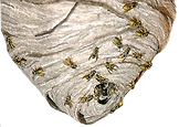 Wasps nest.png