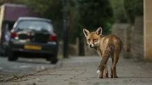 Fox 1.jpeg