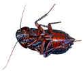 cockroach 2.png