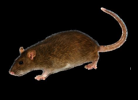 Rats-2.png