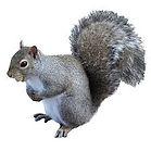 Squirrel .jpeg