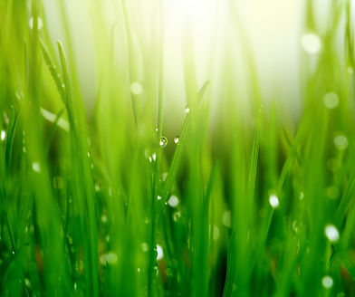 Grass with Dew