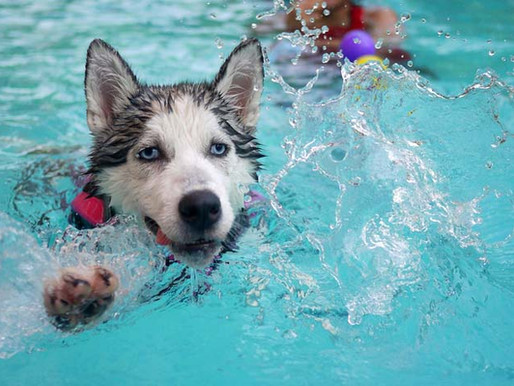 Collectif chiot : initiation piscine !