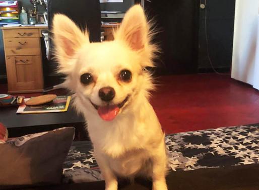 Sauvetage : Chihuahua trouvé à Gosselies !