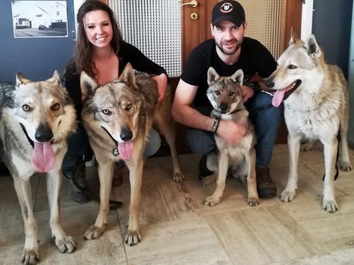 Visite chez le vt avec les chiens-loups