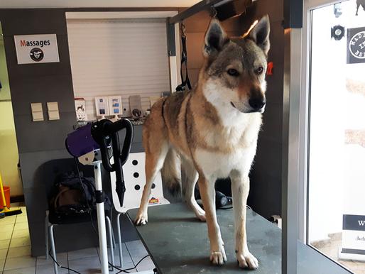 Toilettage: un besoin pour tous les chiens