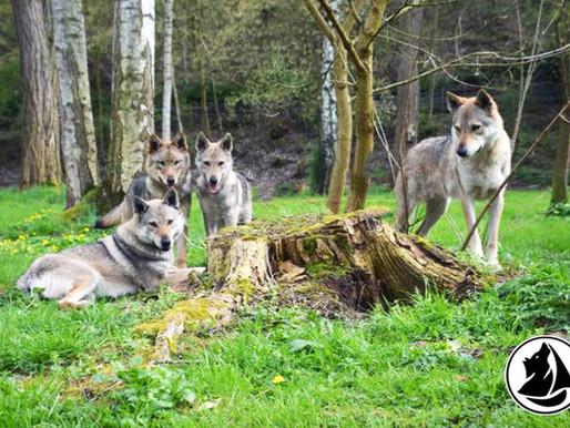 Walking Dog : A la découverte du chien-loup !