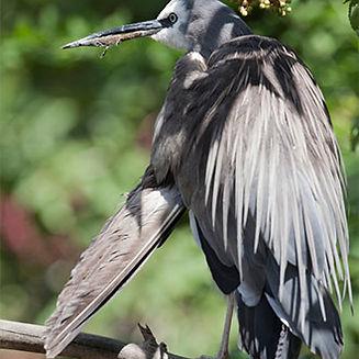 white-faced-heron.jpg