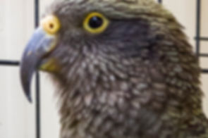 New Zealand kea - Andrew