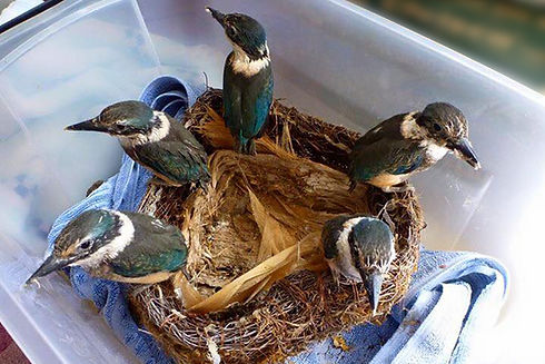 A nest of kōtare/kingfishers
