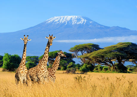 Three giraffe on Kilimanjaro mount backg