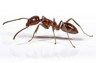 Argentine Ant Control