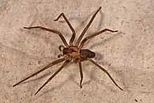 Brown Recluse Exterminating, Control and Prevention