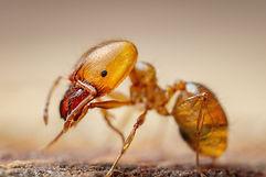 Northridge Pharaoh Ant Exterminator