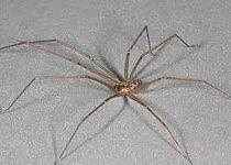 Daddy Long Leg Spider Exterminating Service