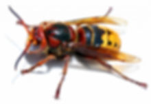 Hornets Nests Removal Service