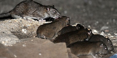 Rat and Mouse Exterminating Service