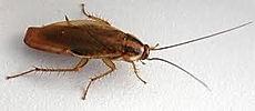 German Cockroach Exterminating Service