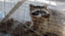 An image of a Raccoon in a cage captured by Speedy's Pest Solutions
