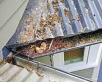 A Roof Filled With Pigeon Droppings and Contaminantes