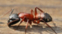 Ant Exterminating Services
